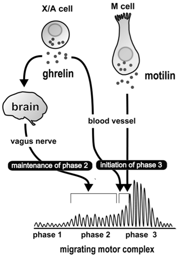 migrating motor complex vagus nerve